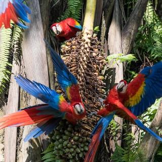 Costa Rica - Red Ara