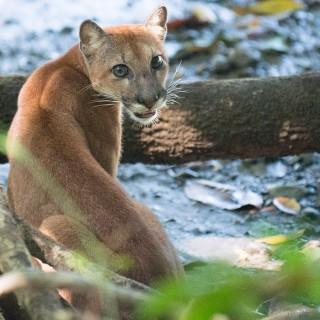 Costa Rica Puma